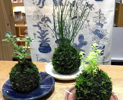 【花園樹斎 季節鉢】苔玉